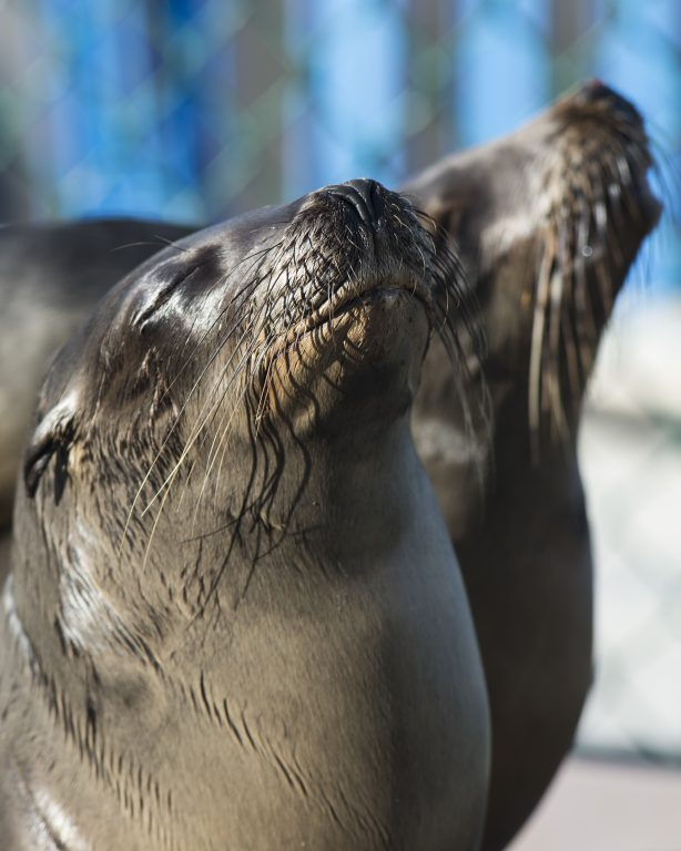 62 sea lions have been rescued and cared for by the SeaWorld California animal rescue team