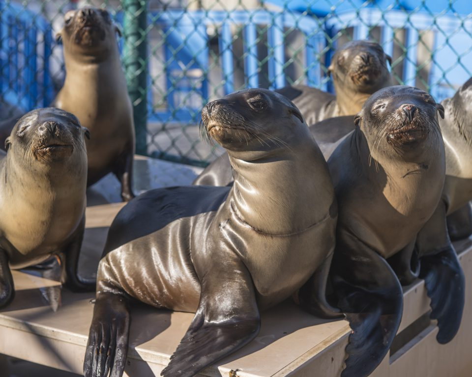 Record numbers of sea lions have been stranded on the California coast